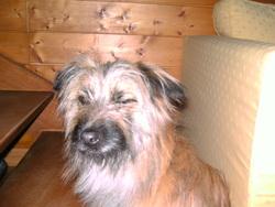 Louna, chien Berger des Pyrénées