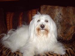 Louna, chien Bichon maltais