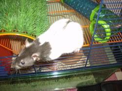 Louna, rongeur Rat