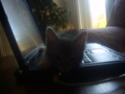 Louna, chat Européen