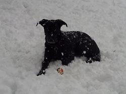 Louna, chien Labrador Retriever