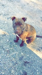 Loundie, chien American Staffordshire Terrier