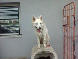 Loup, chien Berger blanc suisse