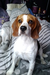 Loup, chien Beagle