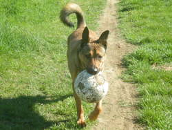 Loup, chien Berger belge