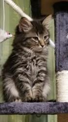 Loupette, chat Sibérien