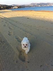 Loupiac, chien Bichon maltais