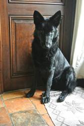 Louping, chien Berger allemand