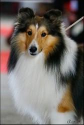 Loupio Des Jardins De Becky, chien Berger des Shetland