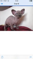 Loupy, chat Sphynx