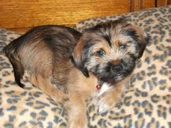 Loustic, chien Yorkshire Terrier