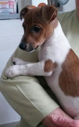 Loustic, chien Jack Russell Terrier
