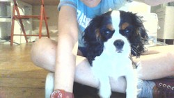 Loustique, chien Cavalier King Charles Spaniel