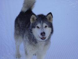 Loute, chien Malamute de l'Alaska