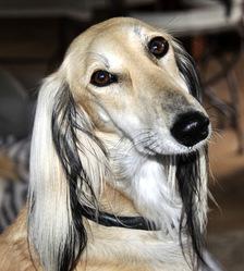 Louxhia D'Alfabia, chien Saluki
