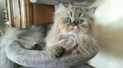 Louxor, chat Persan