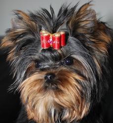 Love, chien Yorkshire Terrier