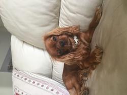 Love Me, chien Cavalier King Charles Spaniel