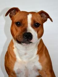 Lovely, chien Staffordshire Bull Terrier