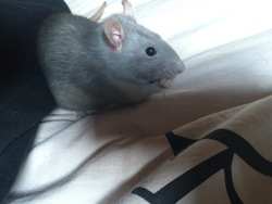 Lovely, rongeur Rat