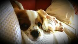 Lovely Soya, chien Cavalier King Charles Spaniel