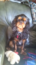 Lover, chien King Charles Spaniel