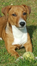 Lover, chien Jack Russell Terrier