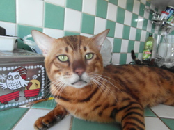 Lovis, chat Bengal