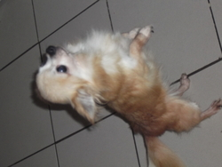 Lovli, chien