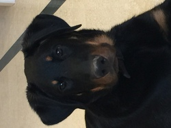 Loxley, chien Beauceron