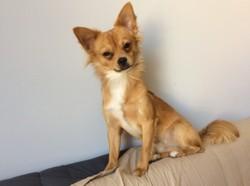 Loyd, chien Chihuahua