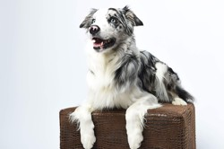 Loyd, chien Border Collie