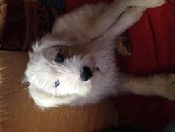 Luby, chien