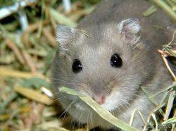 Lucas, rongeur Hamster