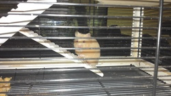 Luce, rongeur Hamster