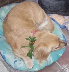 Lucette, chien Teckel