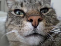 Lucette, chat Européen