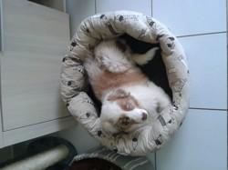 Lucia, chien Berger australien