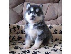 Luciahernandez, chien Husky sibérien