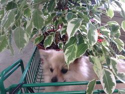 Lucie, chien Spitz allemand