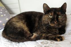 Lucie, chat Européen
