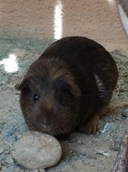 Lucie, rongeur Cochon d'Inde