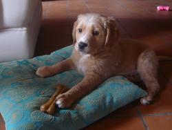 Lucien, chien Labrador Retriever