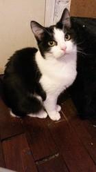 Lucille, chat Européen