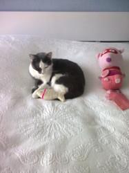 Luciole, chat Européen