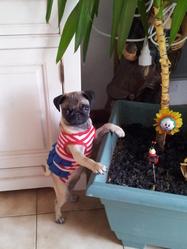 Luciole, chien Carlin