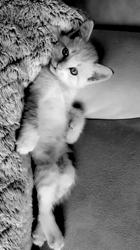Lucius, chaton Européen