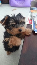 Luck, chien Yorkshire Terrier