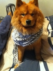 Lucky, chien Chow-Chow