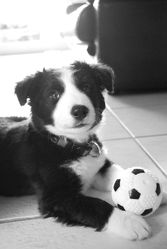 Lucky, chien Border Collie